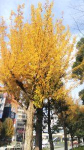 橋の近くに、黄金色のきれいな木が植わっていました。